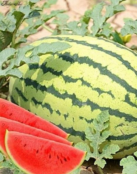 Wassermelone Sugar Dream Melon